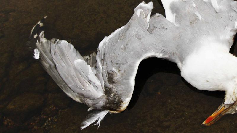 Død fugl ligger på bakken